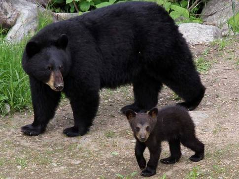 Ours noirs